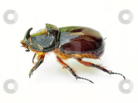 Scarab beetle stock photo, Scarab beetle isolated on a white background. by Sinisa Botas