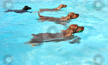 Swimming dogs stock photo, Four cocker spaniel playing in a swimming pool by Bonzami Emmanuelle