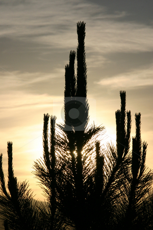 Sun Behind the Cactus - Silhouette stock photo, Sun behind the Bushes and Cactus in Silhouette by Mehmet Dilsiz