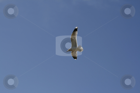 Seagull Soaring in the Sky stock photo, Seagull soaring with blue sky in the background by Mehmet Dilsiz
