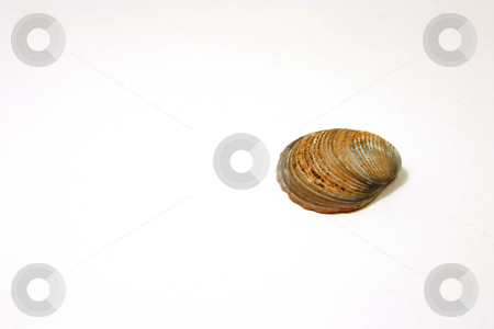 The Seashell stock photo, Seashell Solo by Mehmet Dilsiz