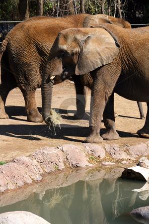 Two Elephants stock photo, Two Elephants walking by Mehmet Dilsiz