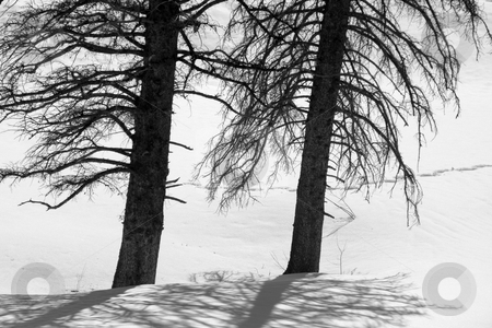 Two Trees in the Snow stock photo, Two Trees in the Snow - Black and White by Mehmet Dilsiz