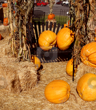 Pumpkins Spread Apart stock photo, Pumpkins Spread Apart in a Farm by Mehmet Dilsiz