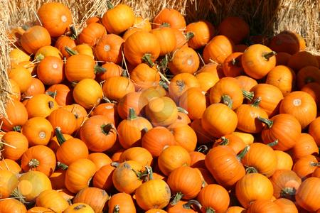Mini Pumpkins stock photo, Miniature Pumpkins on a Haystack by Mehmet Dilsiz