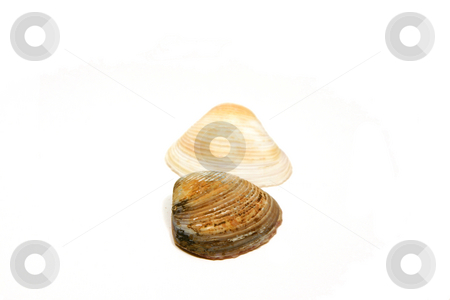 Two Seashells Side by Side  stock photo, Two Seashells side by side - Dark one Upfront by Mehmet Dilsiz