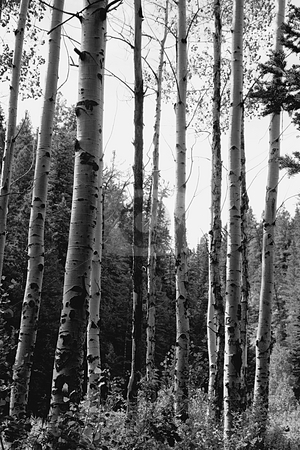 Birch Trees in a National Park stock photo, Close up on few Birch Trees in the Woods by Mehmet Dilsiz