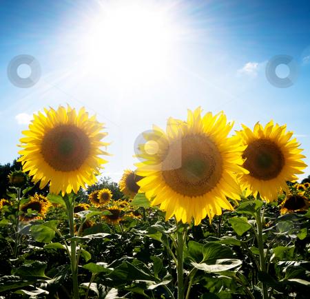 Sunflower  field under the sun stock photo, Beautiful sunflower field under blue with bright sun by Laurent Dambies