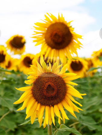 Sunflower  field stock photo, Beautiful sunflower field under pale blue sky and clouds by Laurent Dambies