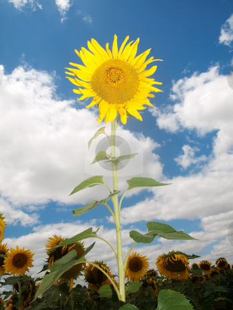Sunflower  field stock photo, Beautiful sunflower field under blue sky and clouds by Laurent Dambies