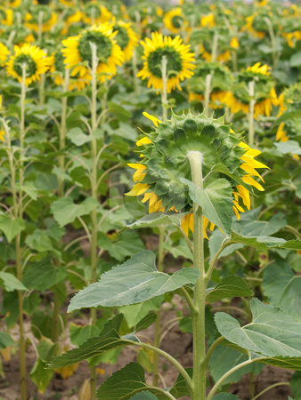 Sunflower  field stock photo, Back view of a beautiful sunflower field with selective focus by Laurent Dambies