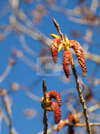 Blooming tree stock photo, Closeup of a  blooming tree at spring with shallow depth of field and blue sky by Laurent Dambies