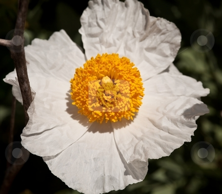 Mojave prickly poppy stock photo, Mojave prickly poppy (Argemone corymbosa) is a flowering plant in the family Papaveraceae native to the eastern Mojave Desert of the southwestern United States. by Mariusz Jurgielewicz