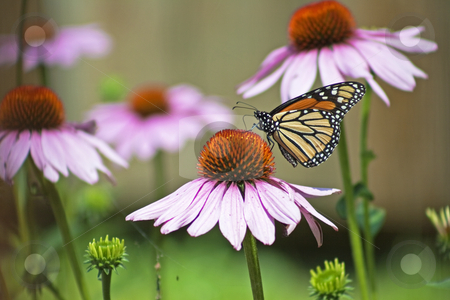 Monarch Butterfly stock photo, Monarch butterfly closeup on purple coneflower in garden by Dennis Crumrin