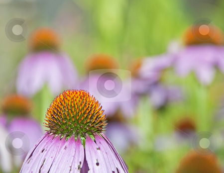 Purple Coneflower Closeup stock photo, Purple coneflower closeup in garden by Dennis Crumrin