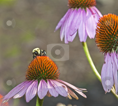 Bumblebee stock photo, Bumblebee closeup on purple coneflower in garden by Dennis Crumrin