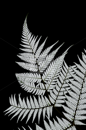 Silver Fern stock photo, The Kiwi Icon - the New Zealand Silver Fern a mark of all New Zealand Sporting teams such as the NZ All Blacks by Robin Ducker