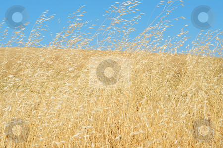 Wild Grasses Blowing In The Wind stock photo, Dried golden colored wild grasses blowing in the wind on a clear summer day by Lynn Bendickson
