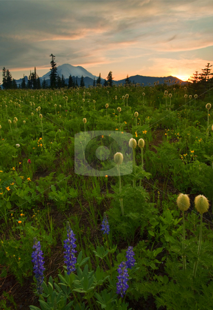 Rainier Wildflower Light stock photo, Meadow, wildflowers, Mt. Rainier, Rainier, lupine, Western Anenome, paintbrush, sunset, mountains, peak, Washington, Pasquale Flower, buttercup by Mike Dawson