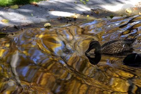 Duck Swimming in Gold stock photo, Duck swimming in golden water by Mehmet Dilsiz
