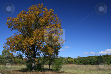 Hickory Tree stock photo,  by Rhys Marsh