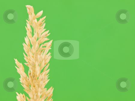 Straw on Green Background stock photo, Piece of straw on a green background by John Teeter