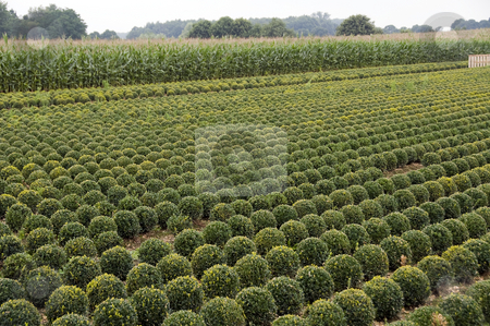 Buxus stock photo, Lot of buxus trees in a field in rows by Chris Willemsen