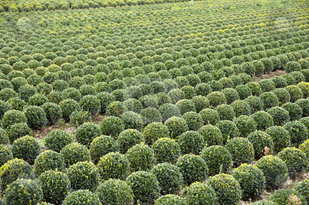 Buxus stock photo, Field with buxus palnts in holland by Chris Willemsen