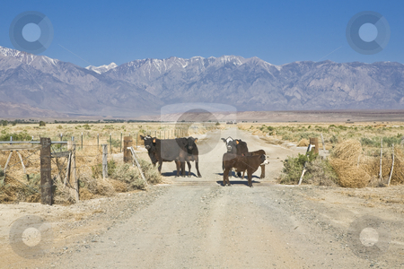 Hijgh Sierra Cattle stock photo, Cattle gather at gate to a ranch in California's Owens Valley by Bart Everett
