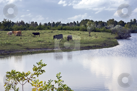 Cattle in a Small Pasture stock photo, Cattle graze in a pasture along a stream in rural Kansas by Bart Everett