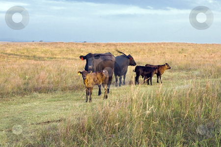 Beef Cattle stock photo, Cows and calfs in a Kansas pasture at sunrise by Bart Everett