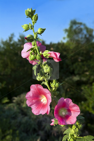 Hollyhock in bloom stock photo, Hollyhock grows skyward producing glorious red blossoms and many buds. by Bart Everett