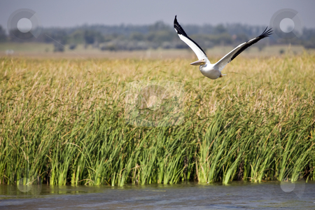 White Pelican in Flight stock photo, White Pelican flies over marsh in Quivera National Wildlife Refuge in Kansas by Bart Everett