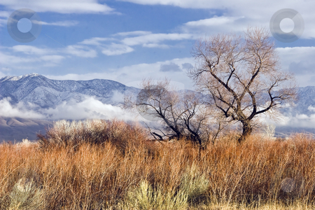 Gold Tree II stock photo, Barren tree glows golden in winter sunlight, Owens Valley, California, January 2007 by Bart Everett