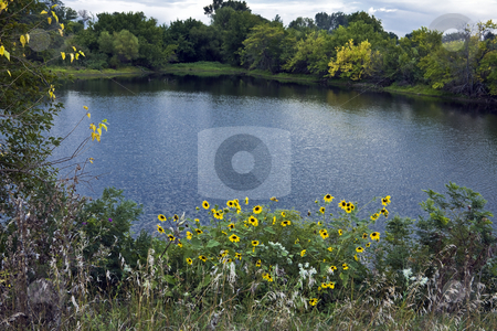 Sunflowers on a Pond stock photo, Sunflowers and wild grasses sprout on the bank of a farm pond in rural Kansas by Bart Everett