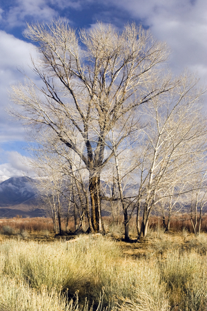 Bare Trees, Golden in Winter stock photo, Grove of leafless trees take on a golden hue in the afternoon sun near Bishop, CA, in the Eastern Sierra by Bart Everett