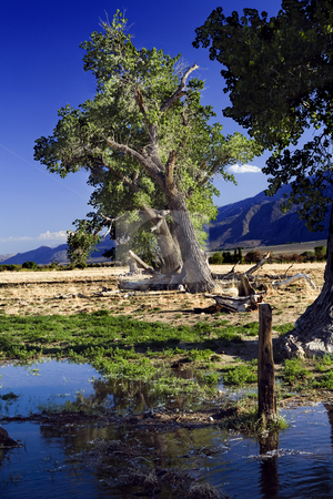 Owens Valley Leaning Trees stock photo, Leaning trees along water overflow near Bishop, CA. by Bart Everett