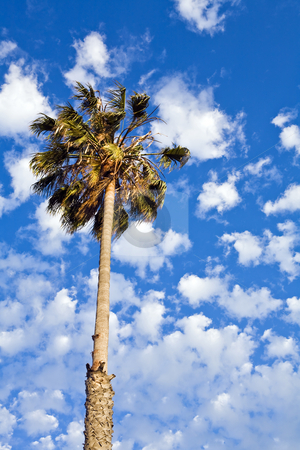 Palm Tree and Fair Weather Clouds stock photo, Palm tree against fair-weather cumulous clouds in Southern California by Bart Everett