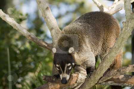 Coatimundi stock photo, Closeup of Coatimundi (nasua nasua) climbing in tree by Stephen Meese