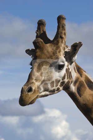 Giraffe stock photo, Head shot of Giraffe (Giraffa camelopardalis rothschildi) by Stephen Meese