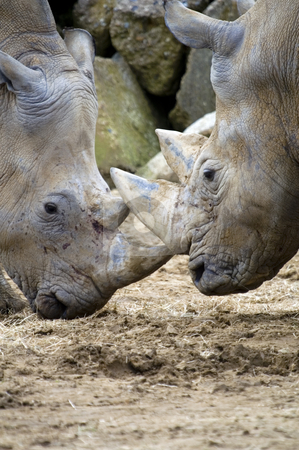 White Rhinoceros stock photo, Two White rhinoceros (Ceratotherium simum) facing each other by Stephen Meese