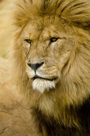 Lion stock photo, Close up of Lion (Panthera leo) looking to left of frame - portrait orientation by Stephen Meese