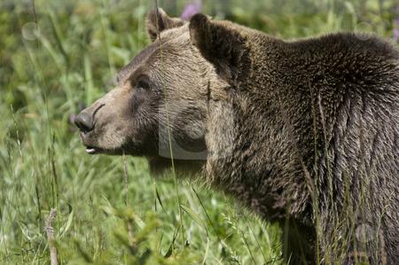 Black Bear stock photo, Wild Black Bear (Ursus americanus) in Banff National Park Canada by Stephen Meese