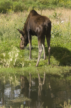 Moose stock photo, Moose (Alces alces) in Banff National Park Canada by Stephen Meese