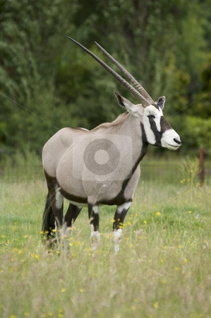Gemsbok stock photo, Gemsbok (oryx gazella gazella) - portrait orientation by Stephen Meese