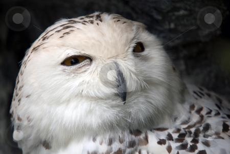 Snowy Owl stock photo, Close up portrait of a beautiful snowy owl by Alain Turgeon