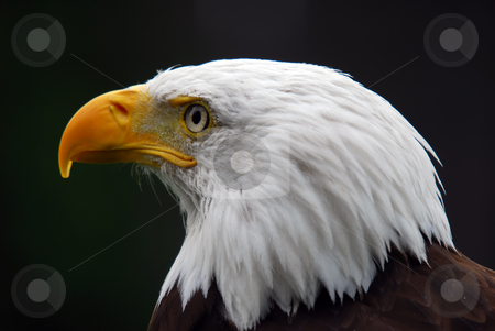 American Bald Eagle stock photo, Portrait of a majestic American Bald Eagle bird of pray by Alain Turgeon