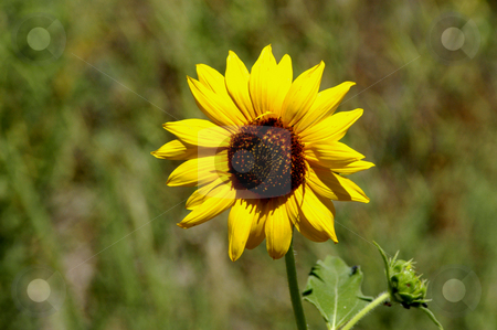 Sunflower stock photo, USA, Idaho, Camas Prairie, Sun Flower by David Ryan