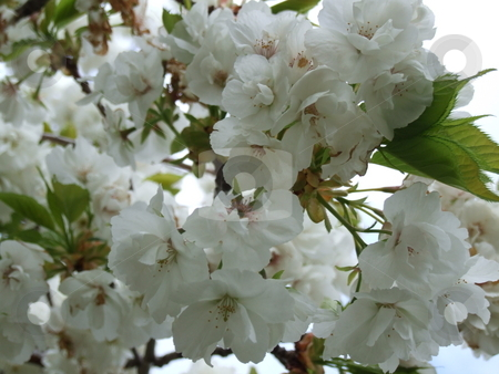 White Cherry Blossom stock photo, White Cherry Blossom by Stephen Lambourne