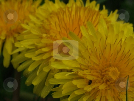 Yellow Dandelions stock photo, Yellow Dandelions by Stephen Lambourne